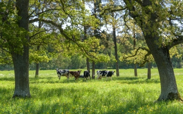 Cows in Gotland