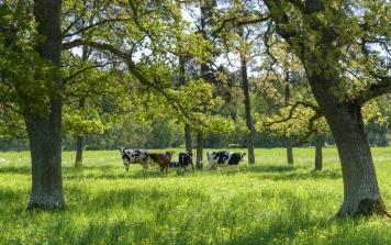 Cows in Gotland