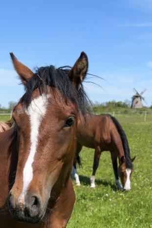 Horses in Gotland