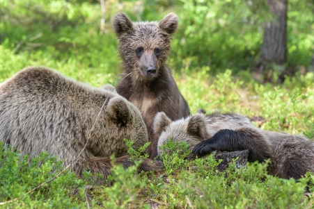 Mother with bear cubs