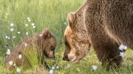 Mother and cub head to head