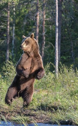 """""""Dancing"""" bear"""