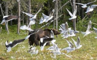 Bear with seagulls