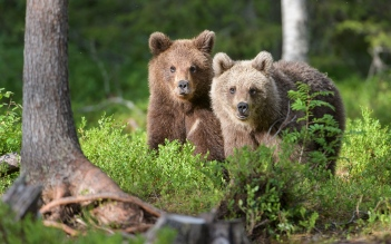 Young bears