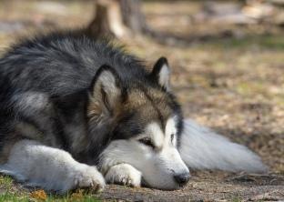 Lazy Husky