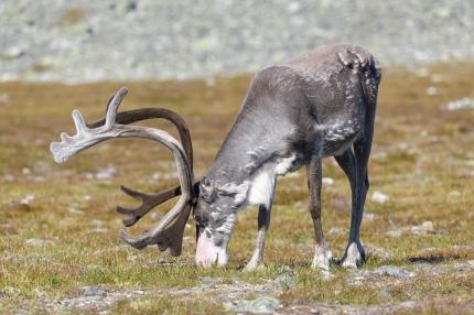 Reindeer - Pallas-Yllastunturi National Park