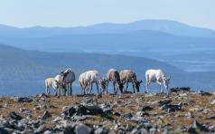 Reindeers - Pallas-Yllastunturi National Park
