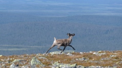 Reindeer on the run - Pallas-Yllastunturi National Park