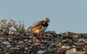 Little bird enjoying the Midnight Sun