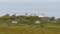 Reindeers near Slettnes Lighthouse
