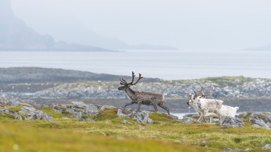 Reindeers near Slettnes Lighthouse