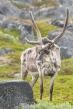 Reindeer near Slettnes Lighthouse