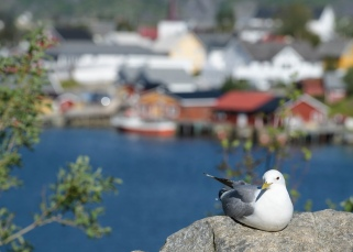 Seagull at Reine