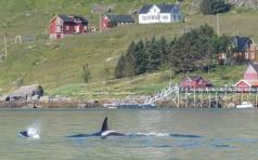 Orcas near Vinstad