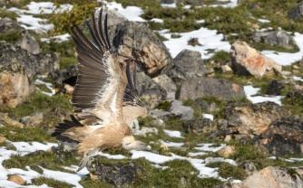 Vultures at Picos de Europa