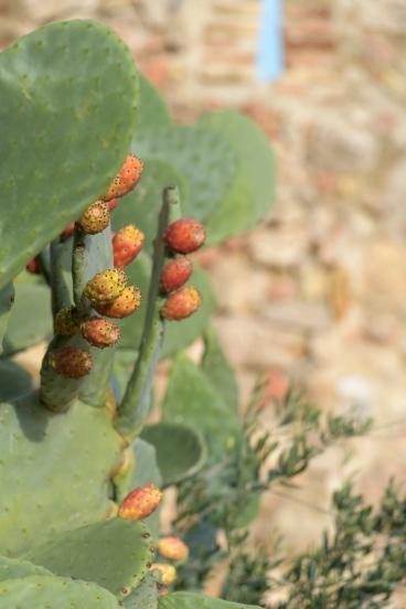 Cactus in Mirabet