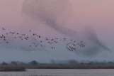 Flamingoes and Starlings at the Ebro Delta