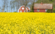 Red wooden houses in bright yellow fields of rapeseed