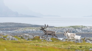 Reindeers above the Arctic Circle