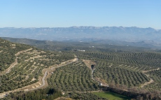 Olive trees around Ubeda