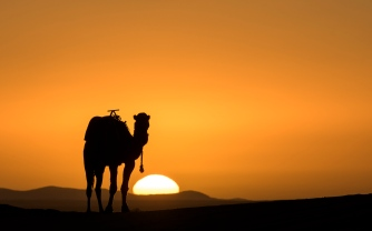 Camel posing during Sunrise