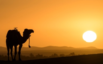 Camel posing during Sunrise