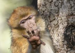 Give me the Banana - Berber Monkey