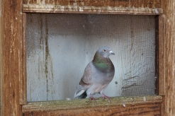 Pigeon at the Tanneries
