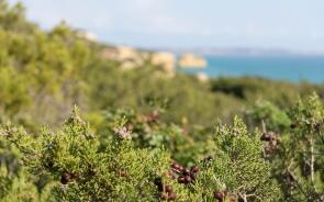 Juniper berries - Praia Marinha