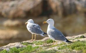 Seaguls - Praia Marinha