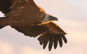 Griffon Vulture - Monfrague NP