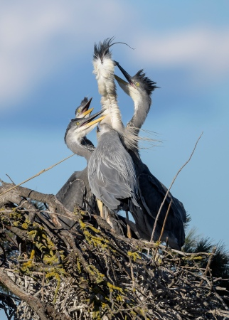 Grey Heron Family