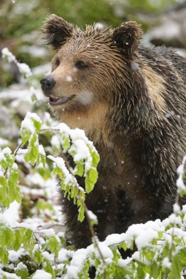 Slovenian bear in the snow