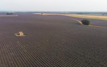 Lavender Fields - aerial shot